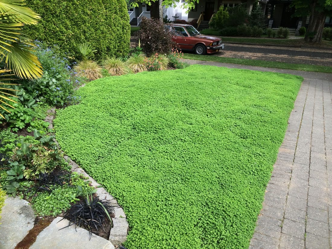 Micro Clover - Lawn alternative